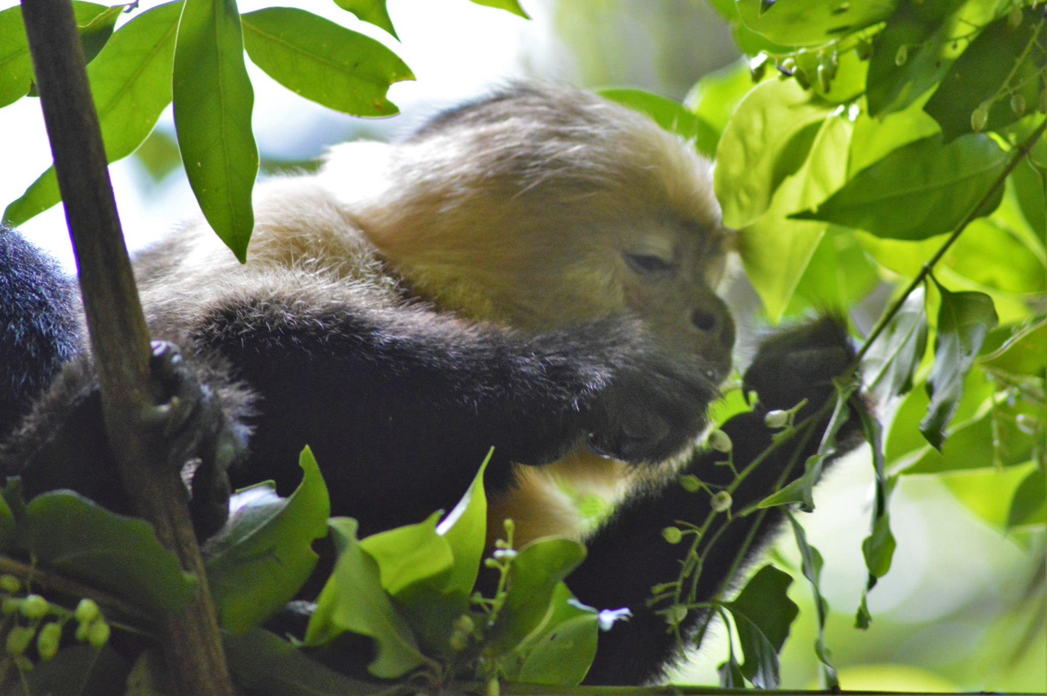 White Faced Monkey in a tree eating in Costa Rica