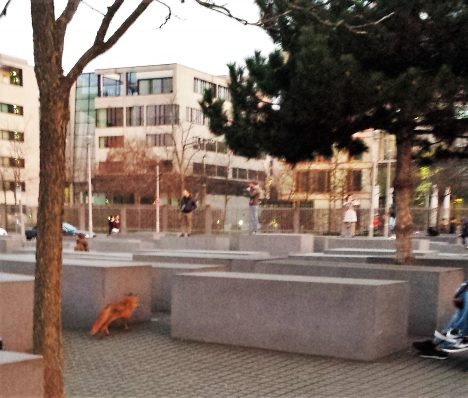 Fox at the Holocaust Memorial, Berlin, Germany