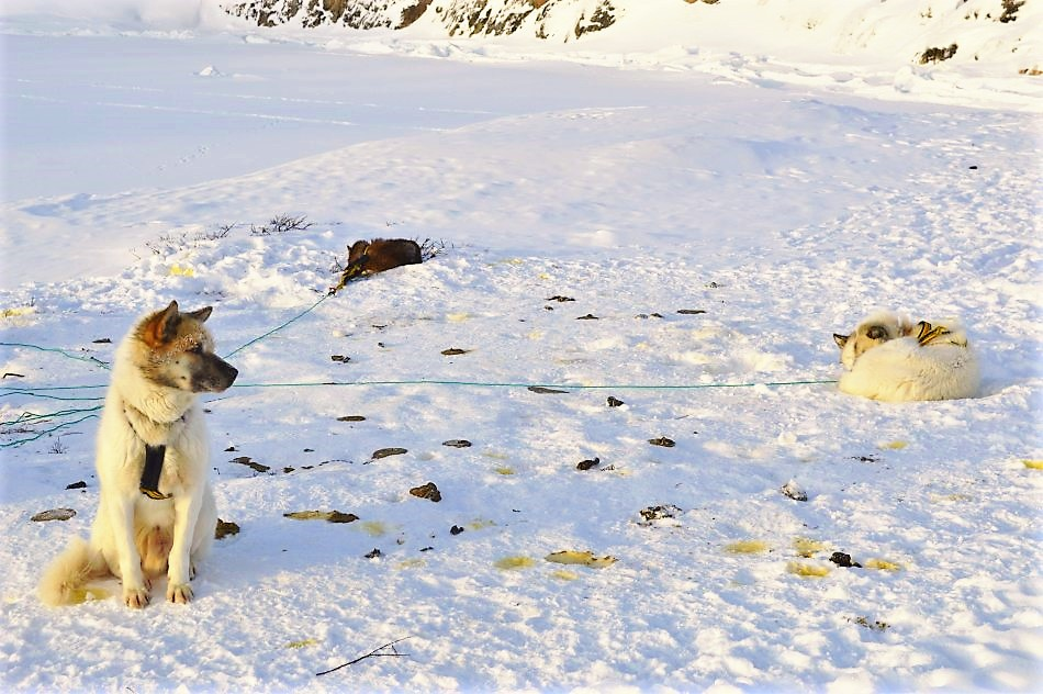 Lots of poo on the dog sledding expedition in Greenland