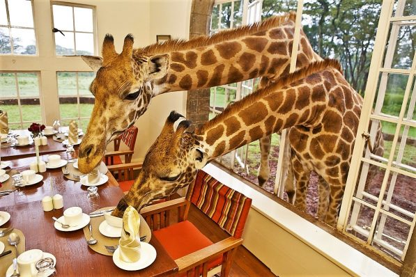 Giraffes eating breakfast at the Giraffe Manor, Giraffe hotel, Nairobi, Kenya
